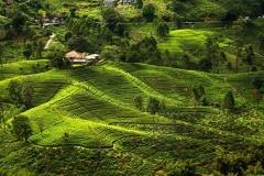 Плантации чая на Шри-Ланке